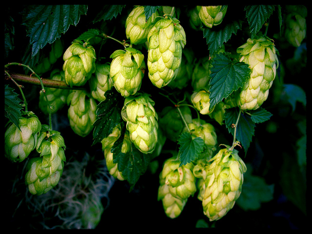 All About the Hops: Hop Shortage on the Horizon